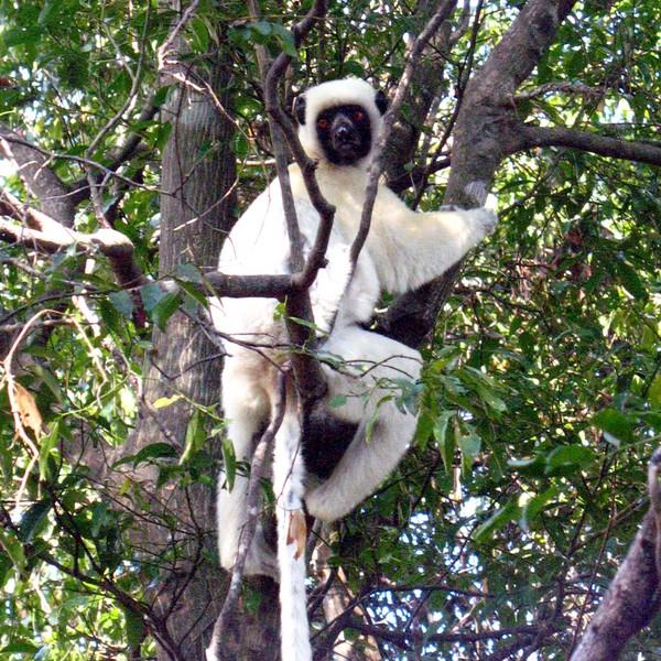 Lémurien blanc dans les branches d'un arbre