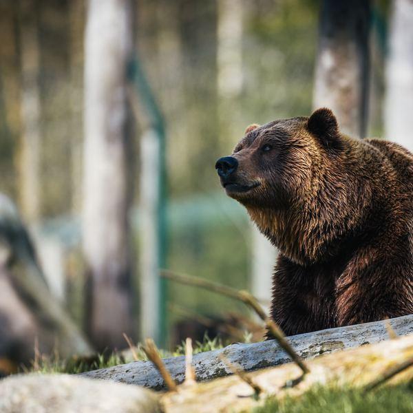 Un magnifique grizzly,  typique de chez nous.