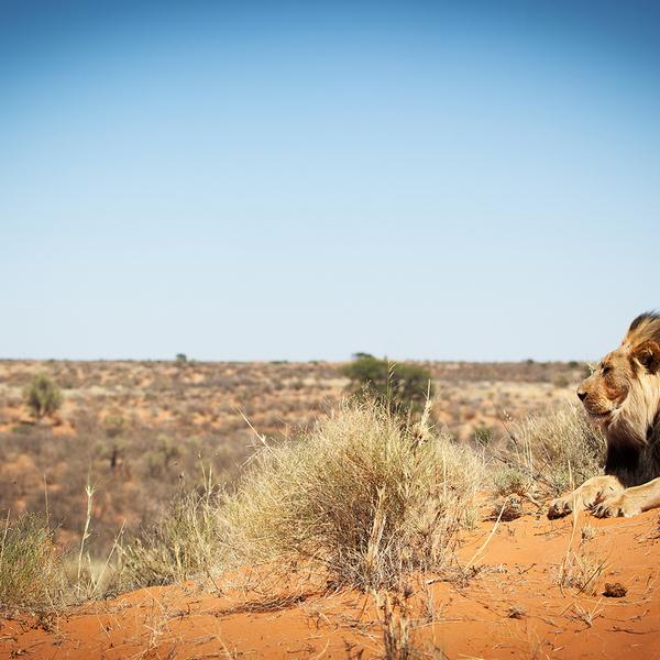 Das Bild zeigt einen Schwarzmähnenlöwen in der Kalahari.