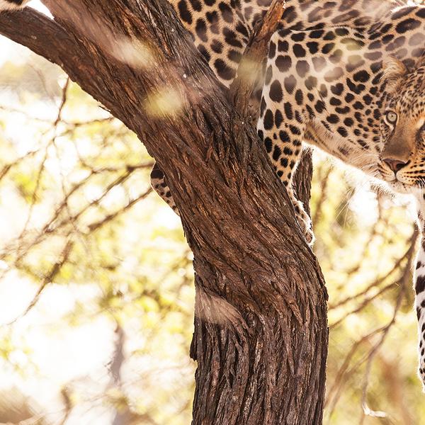 Das Bild zeigt einen selten zu sehender Leoparden auf einem Baum im Krüger Nationalpark.