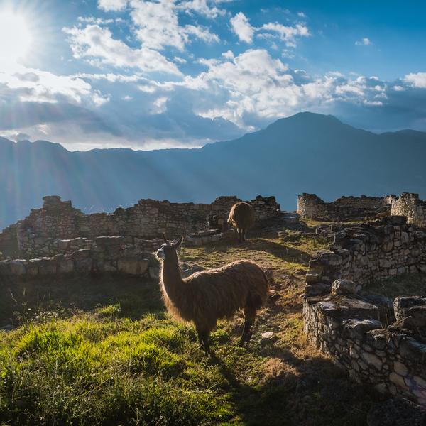Un lama dans les ruines de la forteresse de Kuélap