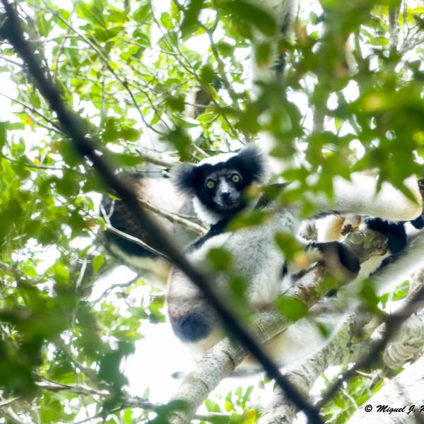 Indri Indri o Babakoto