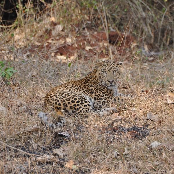 Leopard in India