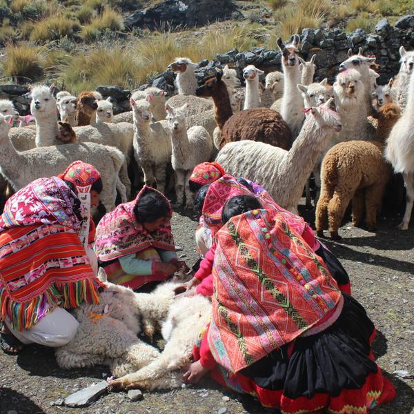 Couple d'éleveurs avec leur troupeau de lamas