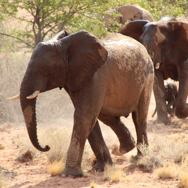 Damaraland. This area is one of the most special in Namibia.  It is home to the desert-adapted elephants and ancient rock paintings