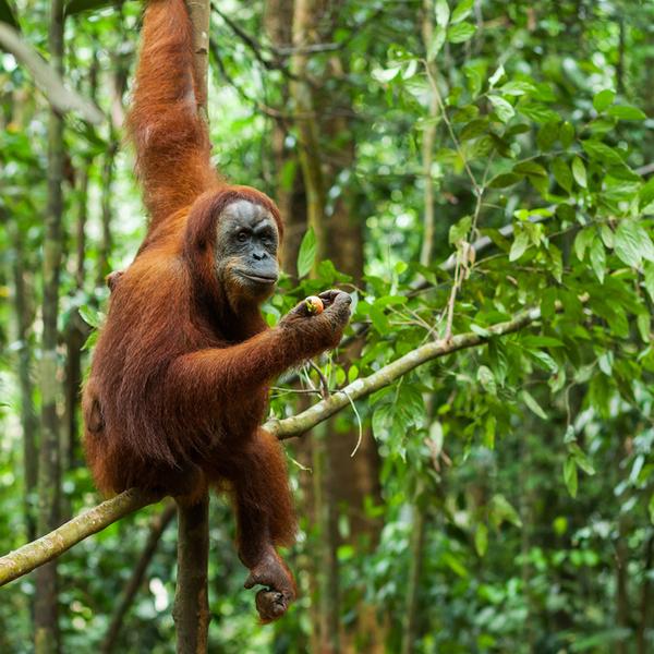 Das Bild zeigt Affen auf Sumatra.