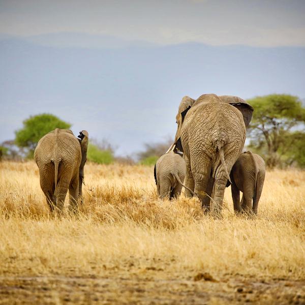 Das Bild zeigt Elefanten.
