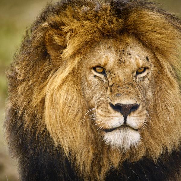 Das Bild zeigt einen Löwen.