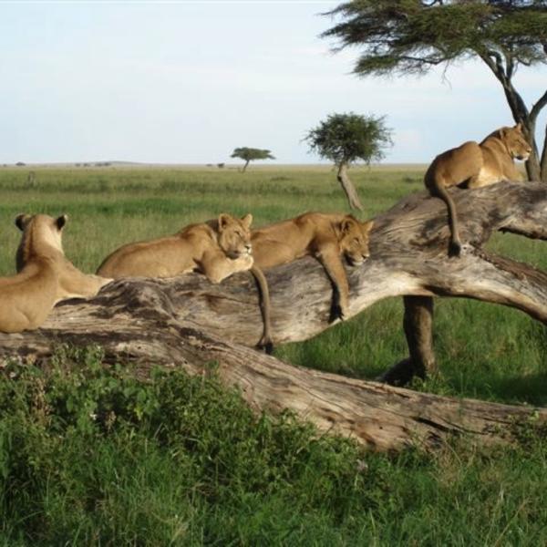 Groupe de lions couchés sur un arbre