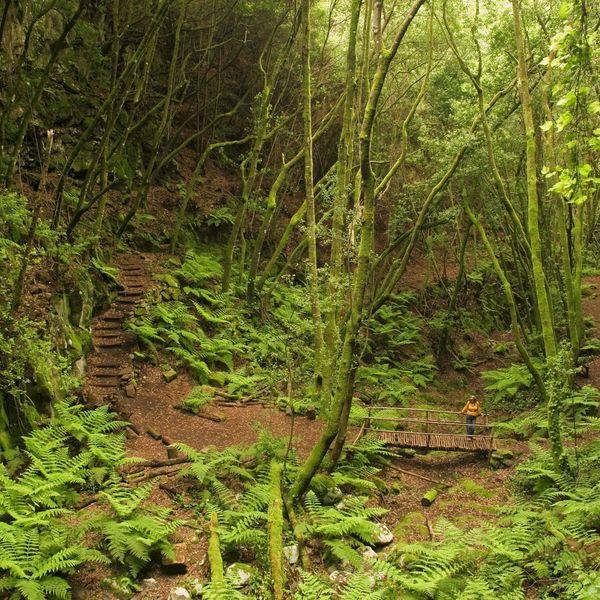 Un sentier et un pont dans une forêt de fougères et de grands arbres