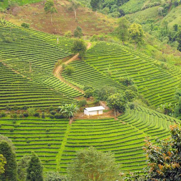 Plantations de thé à flanc de coteaux