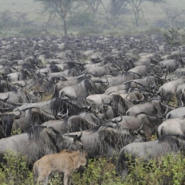 The Great Migration, beginning in Southern Tanzania, moving north, and finally west into the Masai Mara It's a spectacle to behold!