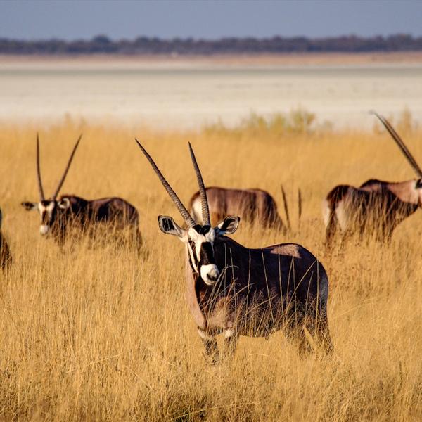 Das Bild zeigt Oryxantilopen.