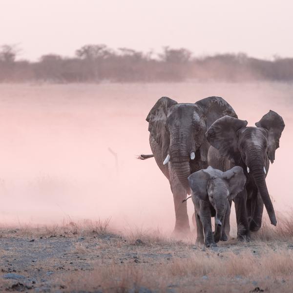 Das Bild zeigt Elefanten im Etoscha- Nationalpark.