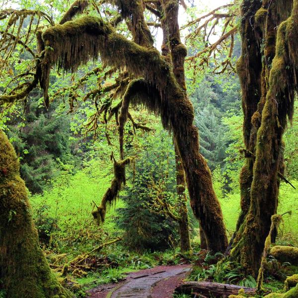 Chemin à travers une végétation épaisse et d'arbres couverts de mousse