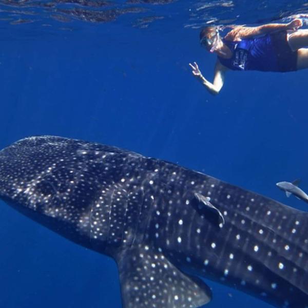 Das Bild zeigt einen Walhai und Taucher.