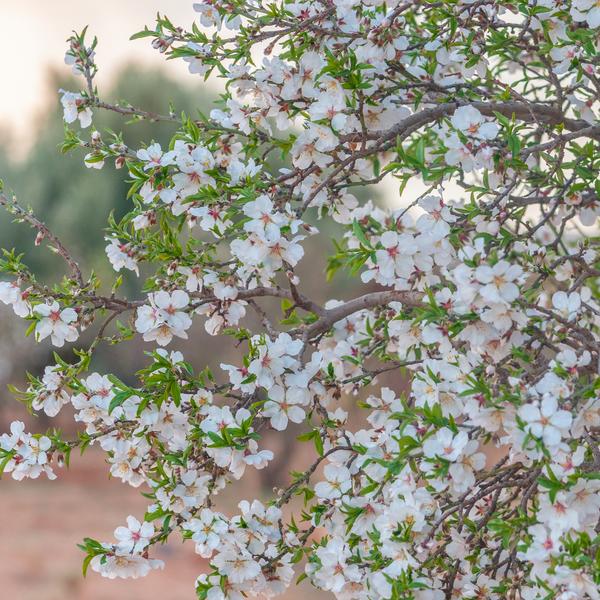 Das Bild zeigt einen blühenden Mandelbaum.