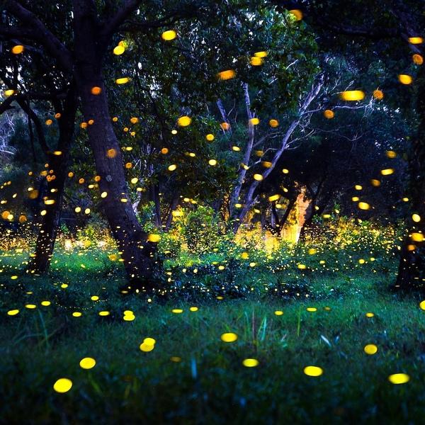 Les lucioles d'Amphawa