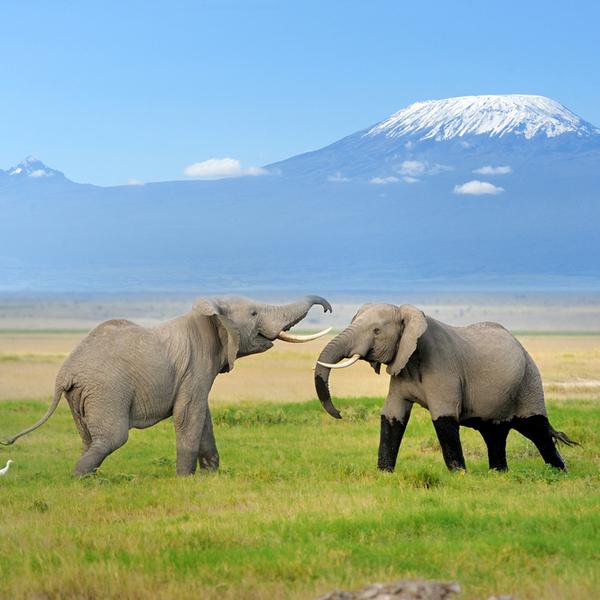 Elephants at mount Kilimanjaro