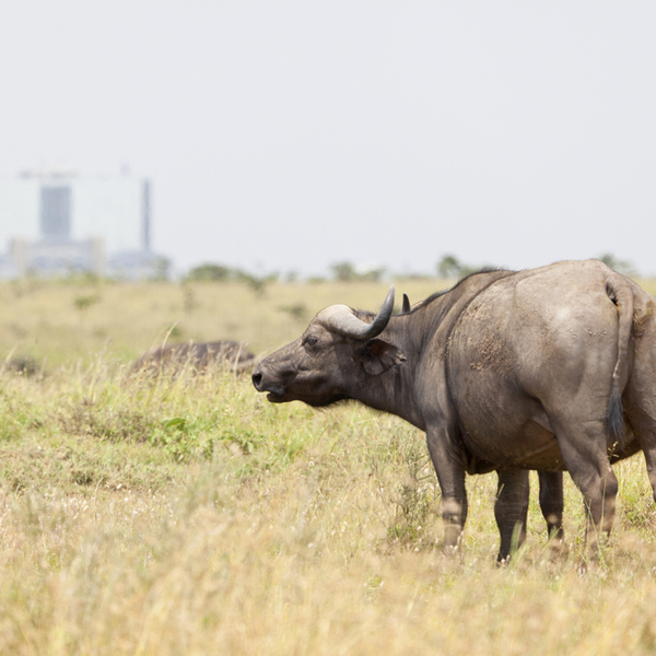 Visit the only national park next to the city. See the city in the background - even with just a day in Nairobi there is plenty to see!