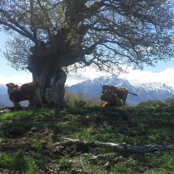 Vaches devant un paysage de montagnes
