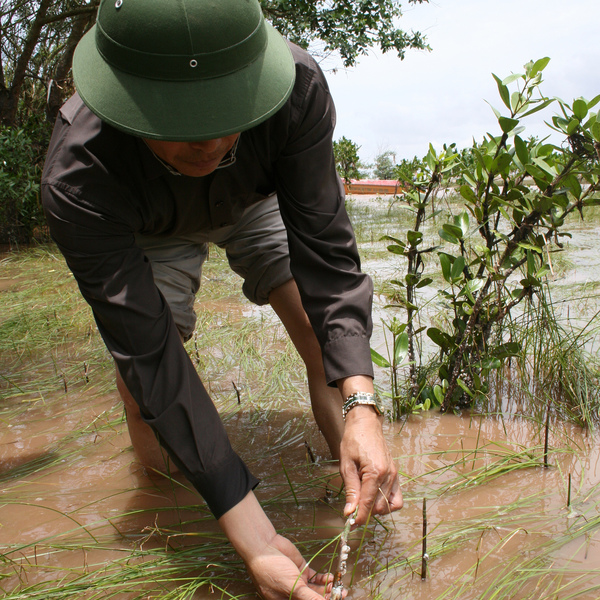 Homme replantant la mangrove