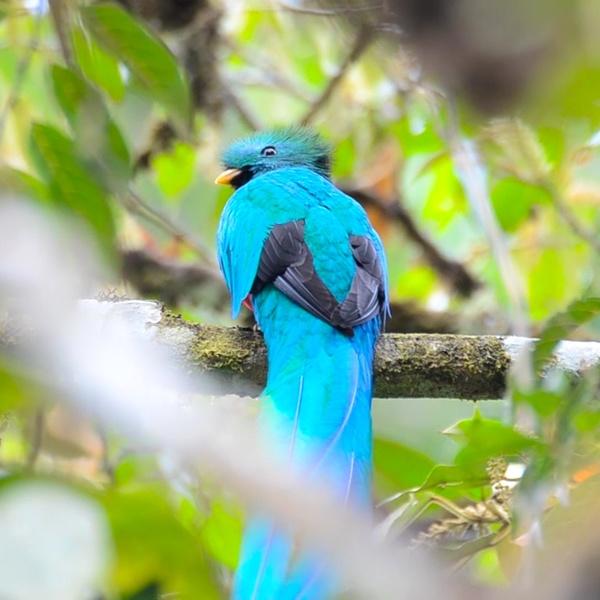 Quetzal entre árboles