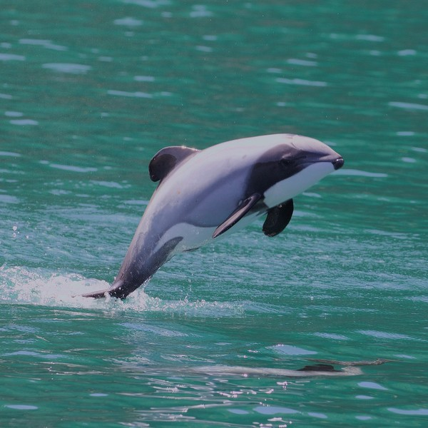 Un dauphin sautant hors de l'eau